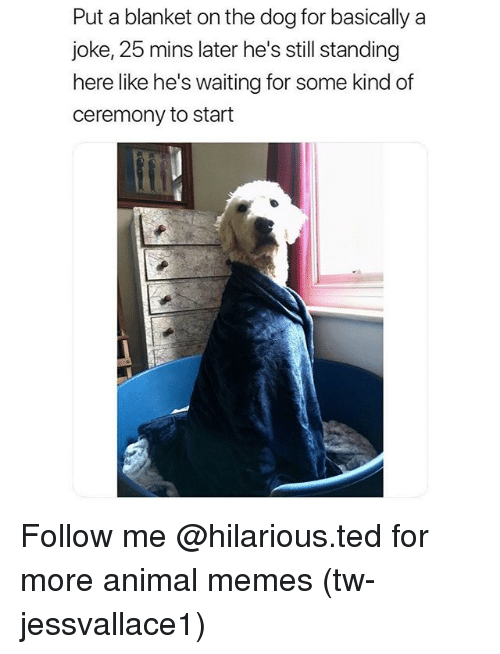 Funny, Memes, and Ted: Put a blanket on the dog for basically a  joke, 25 mins later he's still standing  here like he's waiting for some kind of  ceremony to start Follow me @hilarious.ted for more animal memes (tw-jessvallace1)
