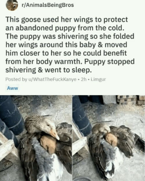 Aww, Imgur, and Puppy: r/AnimalsBeingBros  This goose used her wings to protect  an abandoned puppy from the cold.  The puppy was shivering so she folded  her wings around this baby & moved  him closer to her so he could benefit  from her body warmth. Puppy stopped  shivering & went to sleep.  Posted by u/WhatTheFuckKanye 2h i.imgur  Aww