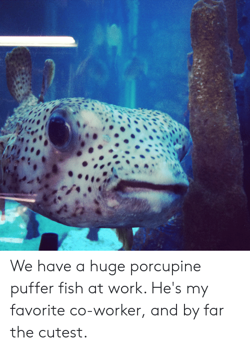 R We Have a Huge Porcupine Puffer Fish at Work He's My ...