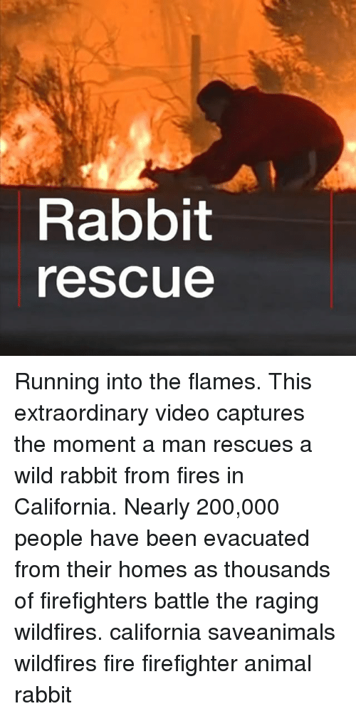 Bailey Jay, Fire, and Memes: Rabbit  rescue Running into the flames. This extraordinary video captures the moment a man rescues a wild rabbit from fires in California. Nearly 200,000 people have been evacuated from their homes as thousands of firefighters battle the raging wildfires. california saveanimals wildfires fire firefighter animal rabbit