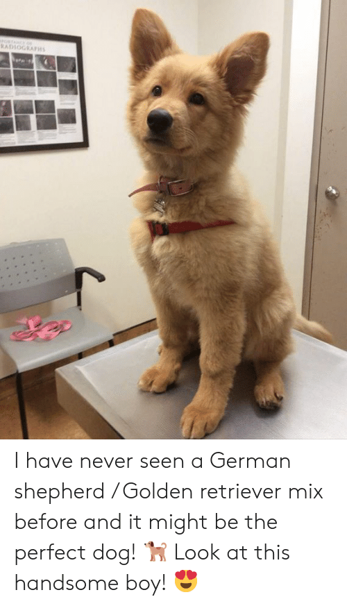 Memes, German Shepherd, and Golden Retriever: RADLOGRAPH I have never seen a German shepherd / Golden retriever mix before and it might be the perfect dog! 🐕  Look at this handsome boy! 😍