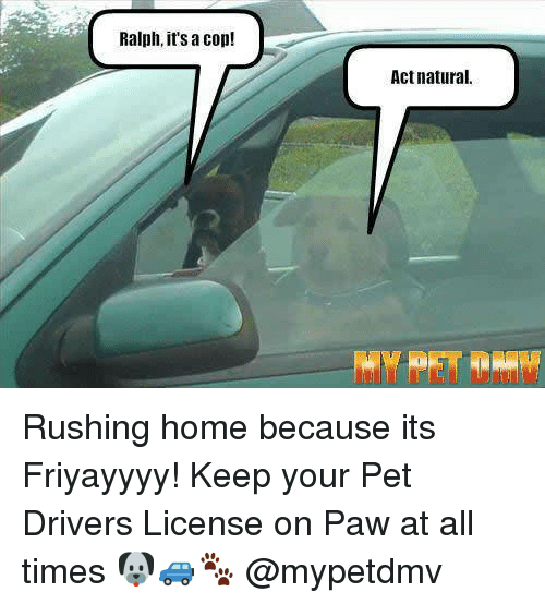 Memes, Home, and 🤖: Ralph, it's a cop!  Act natural. Rushing home because its Friyayyyy! Keep your Pet Drivers License on Paw at all times 🐶🚙🐾 @mypetdmv