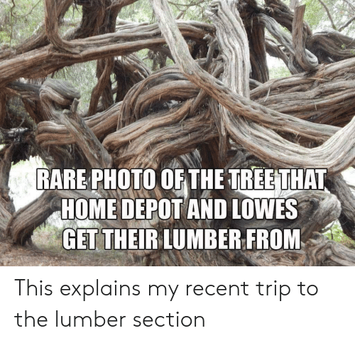 Home, Home Depot, and Lowes: RARE PHOTO OF THE TREETHAT  HOME DEPOT AND LOWES  GET THEIRLUMBER FROM This explains my recent trip to the lumber section