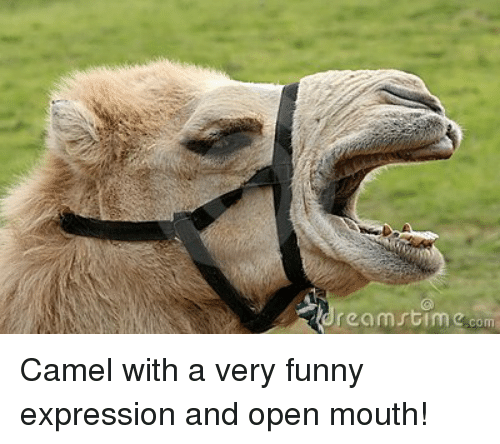 Rech Mrtim Com Camel With a Very Funny Expression and Open Mouth