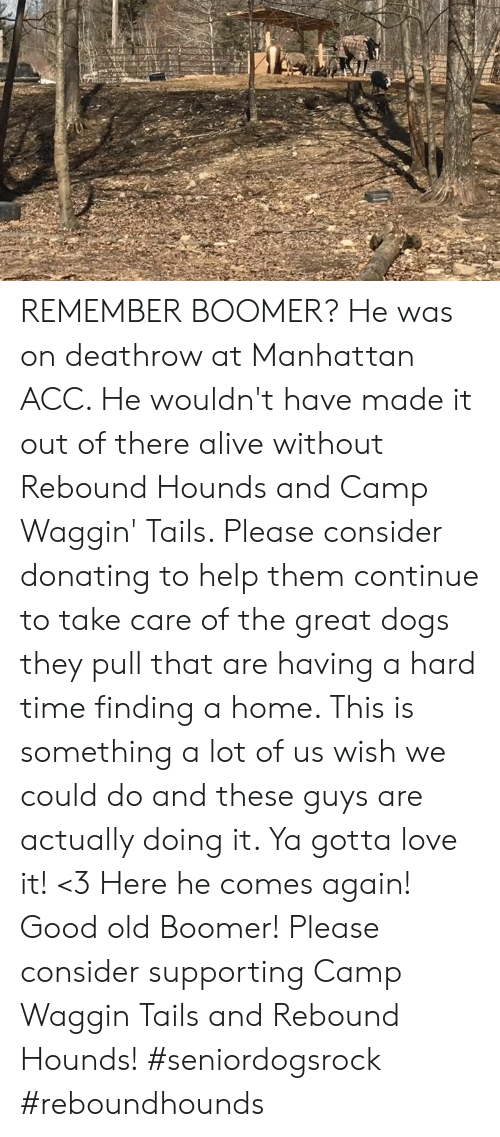 Alive, Dogs, and Love: REMEMBER BOOMER? He was on deathrow at Manhattan ACC. He wouldn't have made it out of there alive without Rebound Hounds and Camp Waggin' Tails. Please consider donating to help them continue to take care of the great dogs they pull that are having a hard time finding a home. This is something a lot of us wish we could do and these guys are actually doing it. Ya gotta love it! <3   Here he comes again! Good old Boomer!  Please consider supporting Camp Waggin Tails and Rebound Hounds! #seniordogsrock #reboundhounds