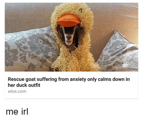 Rescue Goat Suffering From Anxiety Only Calms Down In Her Duck - Rescue goat suffers anxiety calms duck costume