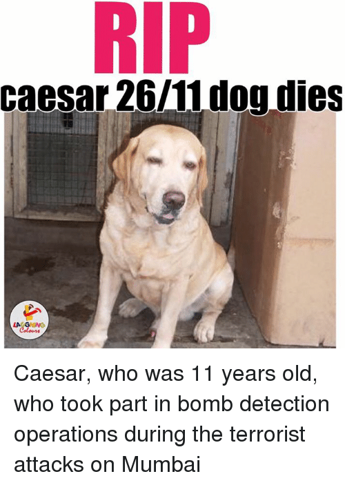 Dogs, Old, and Indianpeoplefacebook: RIP  Caesar 26/11 dog dies Caesar, who was 11 years old, who took part in bomb detection operations during the terrorist attacks on Mumbai