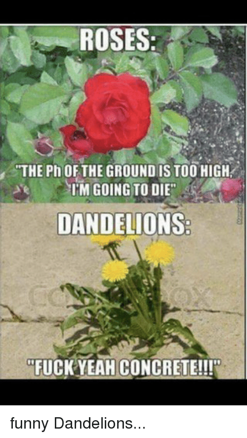 Roses The Ph Of The Ground Is Too High Im Going To Die Dandelions