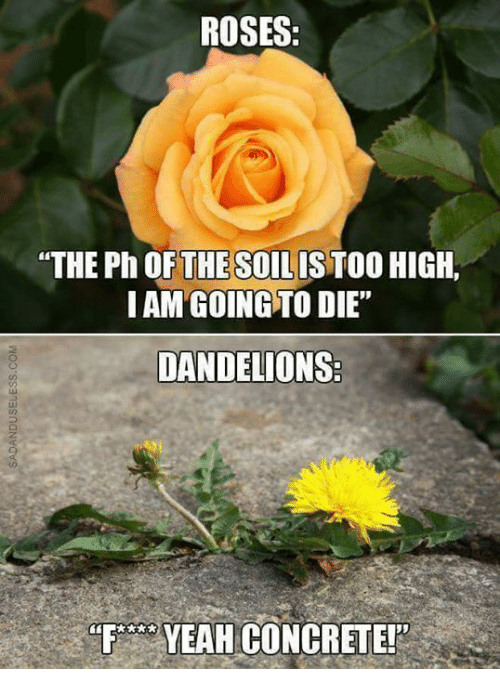 "Memes, Yeah, and 🤖: ROSES:  ""THE Ph OF THE SO  HIGH,  IAM GOING TO DIE""  DANDELIONS  YEAH CONCRETE!"""