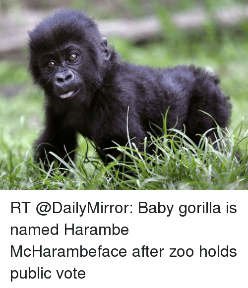 rt baby gorilla is named harambe mcharambeface after zoo holds