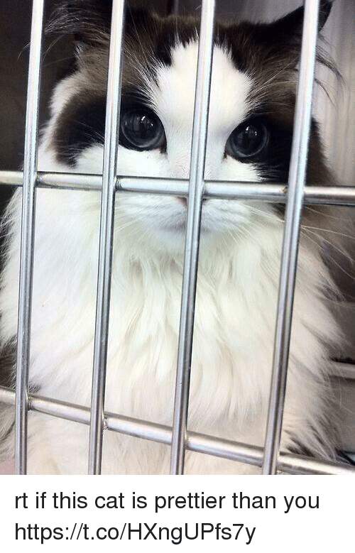 Girl Memes, Cat, and You: rt if this cat is prettier than you https://t.co/HXngUPfs7y