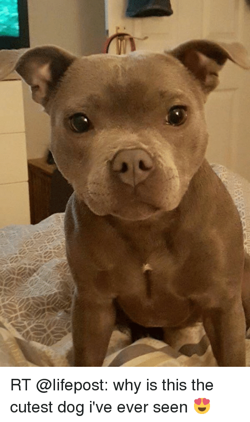 Rt Why Is This The Cutest Dog I Ve Ever Seen Dogs Meme On Me Me