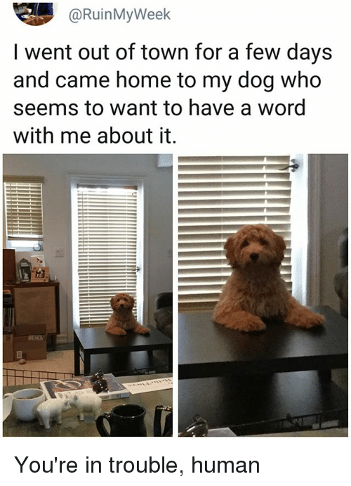 Memes, Home, and Word: @RuinMyWeek  I went out of town for a few days  and came home to my dog who  seems to want to have a word  with me about it. You're in trouble, human