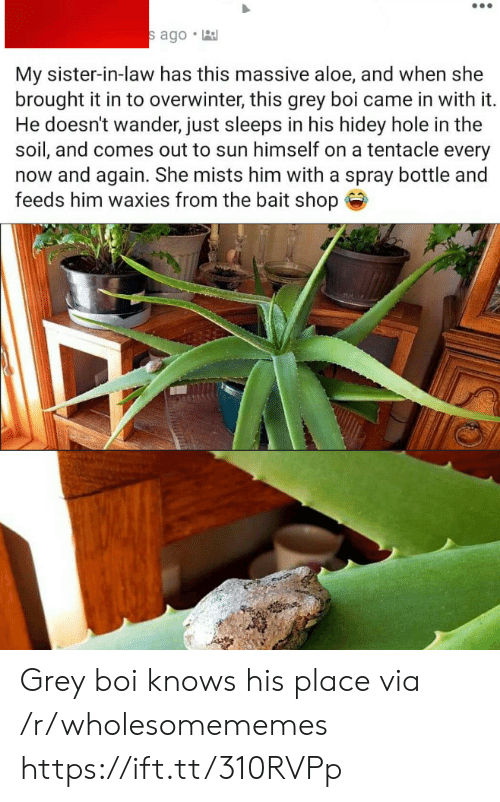 Grey, Boi, and Sun: s ago  My sister-in-law has this massive aloe, and when she  brought it in to overwinter, this grey boi came in with it.  He doesn't wander, just sleeps in his hidey hole in the  soil, and comes out to sun himself on a tentacle every  now and again. She mists him with a spray bottle and  feeds him waxies from the bait shop Grey boi knows his place via /r/wholesomememes https://ift.tt/310RVPp