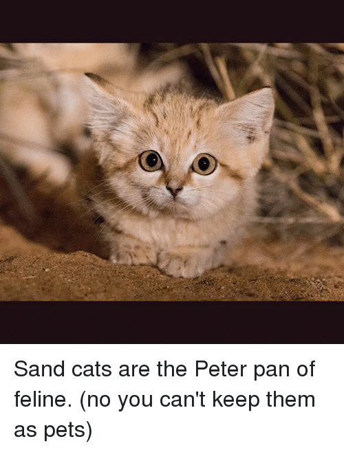 Cats, Memes, and Peter Pan: Sand cats are the Peter pan of feline. (no you can't keep them as pets)