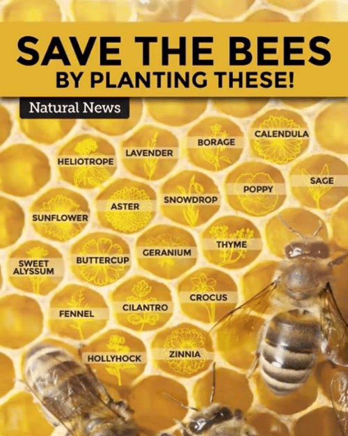 SAVE THE BEES BY PLANTING THESE! Natural News CALENDULA