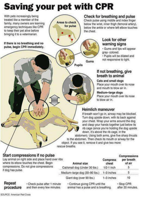 Alive, Cats, and Dogs: Saving your pet with CPR  Check for breathing and pulse  With pets increasingly being  treated like a member of the  family, many owners are learning  emergency techniques like CPR  to keep their pet alive before  bringing it to a veterinarian.  Check pulse using middle and index finger  below the wrist, inner thigh (emoral artery).  Areas to checK  or puisebelow the ankle or where left elbow touches  the chest  Look for other  If there is no breathing and no  pulse, begin CPR immediately.  warning signs  Gums and lips will appear  gray- colored.  Pupils ill be dilated and  Gums  not responsive to light.  Pupils  If not breathing, give  breath to animal  Cats and small dogs  Place your mouth over its nose  and mouth to blow air in.  Medium-large dogs  Place your mouth over its nose  to blow air in.  Heimlich maneuver  If breath won't go in, airway may be blocked.  Turn dog upside down, with its back against  your chest. Wrap your arms around the dog  and clasp your hands together just below its  nb cage (since you're holding the dog upside  down, it's above the rib cage, in the  abdomen). Using both arms, give five sharp thrusts  to the abdomen. Then check its mouth or airway for the  object. If you see it, remove it and give two more  rescue breaths,  Start compressions if no pulse  Lay animal on right side and place hand over ribs  where its elbow touches the chest. Begin  compressions. Do not give compressions Catsmall dog (Under 30 ibs.)  ifdog has pulse.  Compressions  Compress per breath  Animal size  of air  chest  1/2-1 inch5  Medium-large dog (30-90 bs.) 13 inches  Giant dog (over 90 bs.) -3 inches  10  Repeat Check pulse after 1 minute .Continue giving CPR until he  procedure and then every few minutes. animal has a pulse and is breathing. atr20 minutes  Stop CPR  SOURCE: American Red Cross