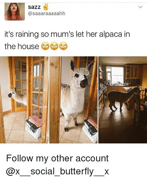 Memes, Butterfly, and House: sazz  @saaaraaaaahh  it's raining so mum's let her alpaca in  the house Follow my other account @x__social_butterfly__x