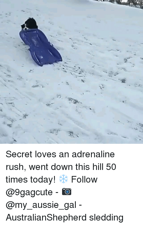 Memes, Rush, and Today: Secret loves an adrenaline rush, went down this hill 50 times today! ❄️ Follow @9gagcute - 📷 @my_aussie_gal - AustralianShepherd sledding