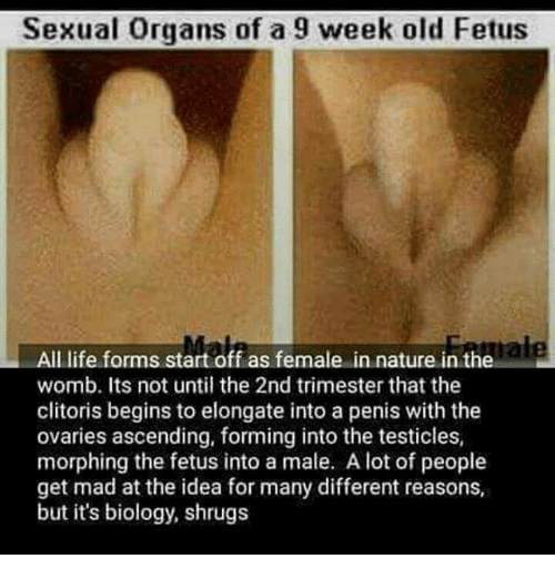 fetus sex organ