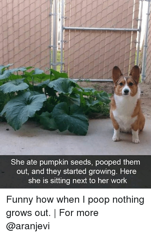 Funny, Memes, and Poop: She ate pumpkin seeds, pooped them  out, and they started growing. Here  She is sitting next to her work Funny how when I poop nothing grows out.   For more @aranjevi