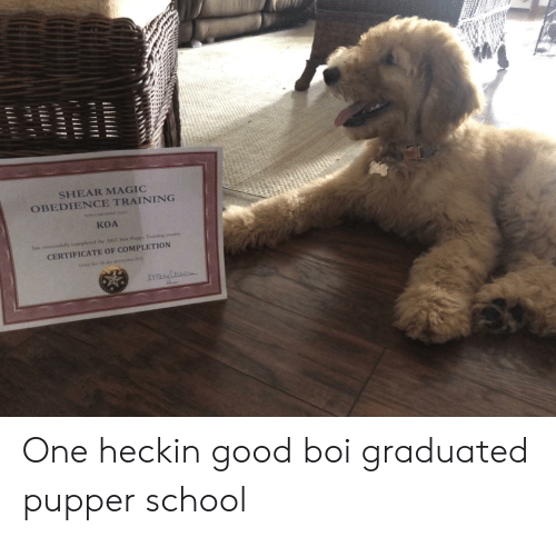 School, Good, and Magic: SHEAR MAGIC  OBEDIENCE TRAINING  TnC  A  KOA  bas successfully completed the AKC Stir PuppY Training course  CERTIFICATE OF COMPLETION One heckin good boi graduated pupper school