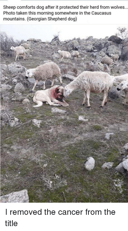 Taken, Cancer, and Georgian: Sheep comforts dog after it protected their herd from wolves.  Photo taken this morning somewhere in the Caucasus  mountains. (Georgian Shepherd dog) I removed the cancer from the title