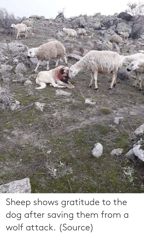 Reddit, Target, and Wolf: Sheep shows gratitude to the dog after saving them from a wolf attack.(Source)