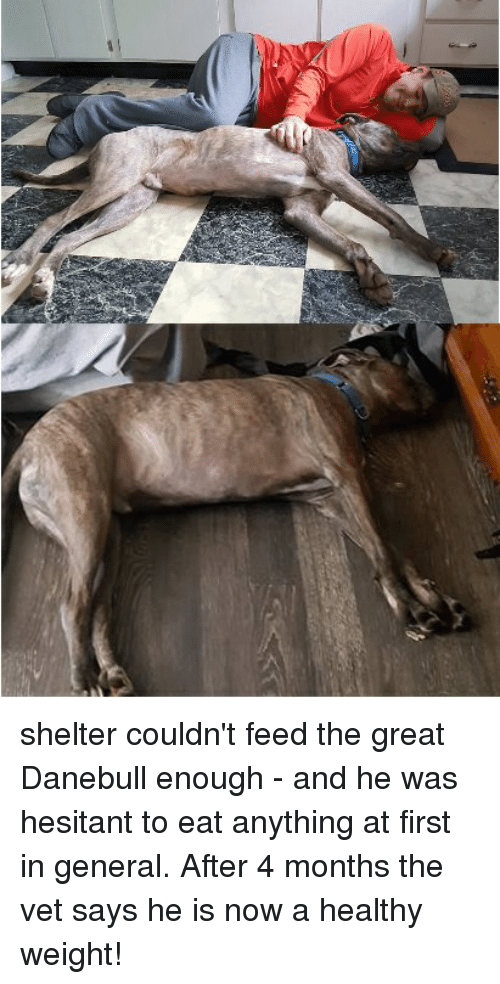 Shelter, First, and Now: shelter couldn't feed the great Danebull enough - and he was hesitant to eat anything at first in general. After 4 months the vet says he is now a healthy weight!
