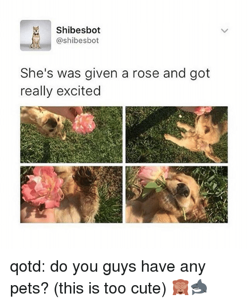 Cute, Memes, and Pets: Shibesbot  @shibesbot  She's was given a rose and got  really excited qotd: do you guys have any pets? (this is too cute) 🙈🦈