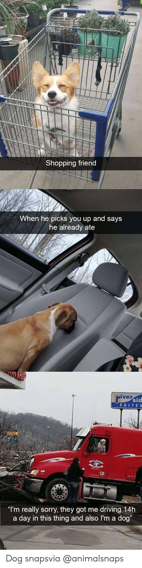 "Driving, Shopping, and Sorry: Shopping friend   When he picks you up and says  he already ate   iver  sid  SUITE S  ""I'm really sorry, they got me driving 14h  a day in this thing and also I'm a dog Dog snapsvia @animalsnaps"
