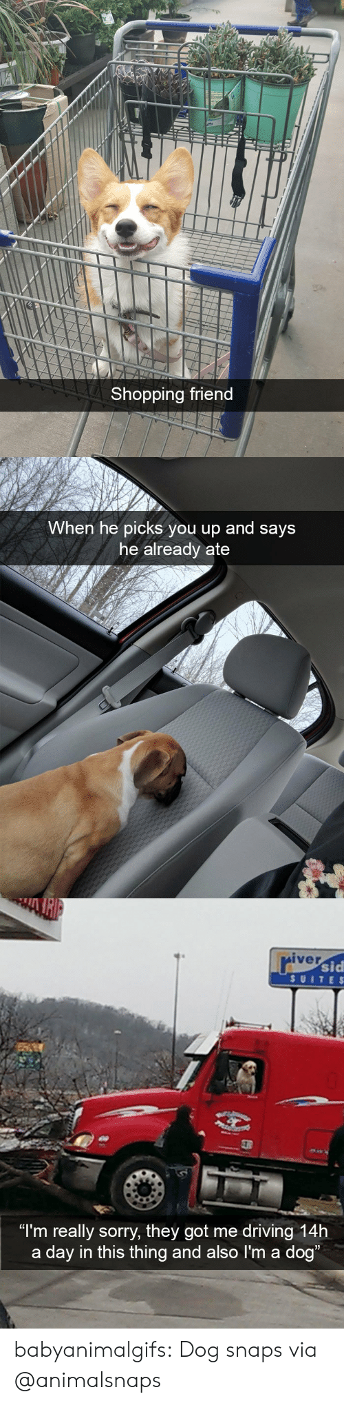 "Driving, Shopping, and Sorry: Shopping friend   When he picks you up and says  he already ate   iver  sid  SUITE S  ""I'm really sorry, they got me driving 14h  a day in this thing and also I'm a dog babyanimalgifs: Dog snaps via @animalsnaps"