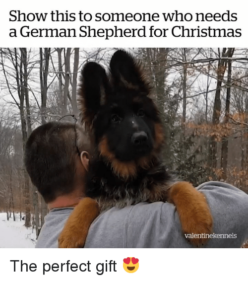 Christmas, German Shepherd, and Who: Show this to someone who needs  a German Shepherd for Christmas  valentinekennels The perfect gift 😍