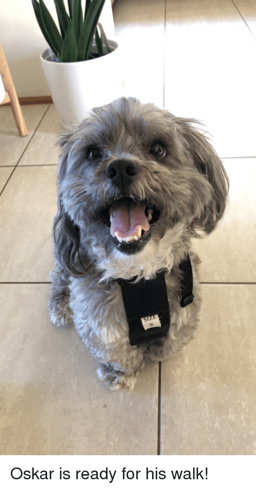 For,  Walk, and  Ready: SI Oskar is ready for his walk!