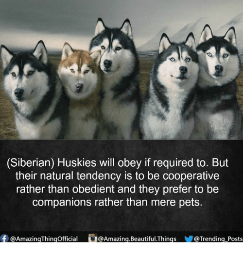 Beautiful, Memes, and Pets: (Siberian) Huskies will obey if required to. But  their natural tendency is to be cooperative  rather than obedient and they prefer to be  companions rather than mere pets  ⑥@AmazingThingOfficial  。@Amazing.Beautiful.Things  @Trending.Posts