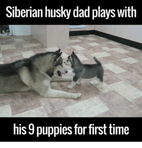 Fashion style Husky Siberian meme pictures for girls