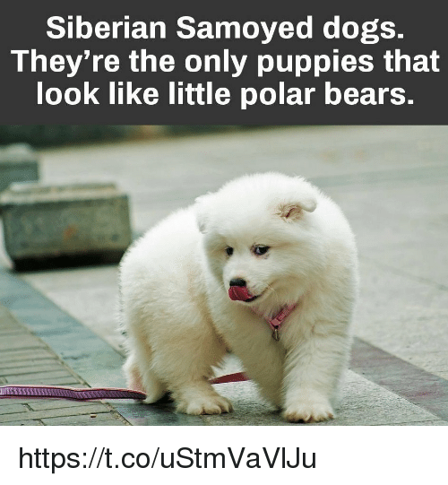 Siberian samoyed dogs theyre the only puppies that look like dogs memes and puppies siberian samoyed dogs theyre the only voltagebd Image collections