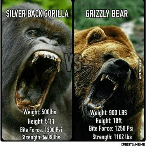 silver back gorilla grizzly bear weight 500lbs height 511 bite 26924392 silver back gorilla grizzly bear weight 500lbs height 511 bite,Meme Bear