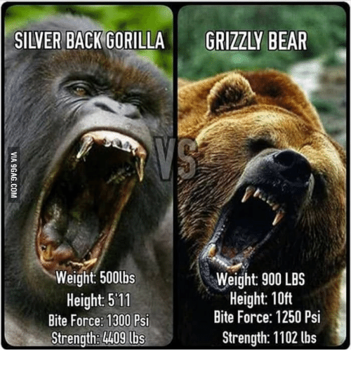 Silver Back Gorilla Grizzly Bear Weight 500lbs Weight 900