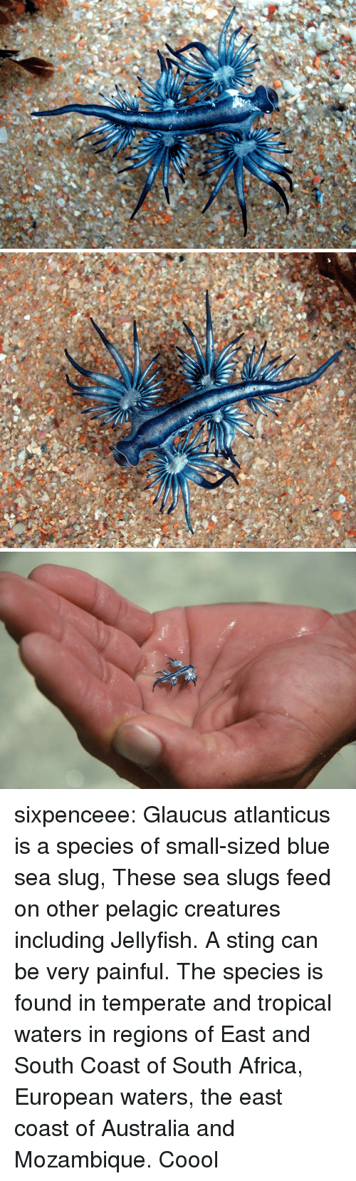Africa, Target, and Tumblr: sixpenceee:  Glaucus atlanticus is a species of small-sized blue sea slug, These sea slugs feed on other pelagic creatures including Jellyfish. A sting can be very painful. The species is found in temperate and tropical waters in regions of East and South Coast of South Africa, European waters, the east coast of Australia and Mozambique.   Coool