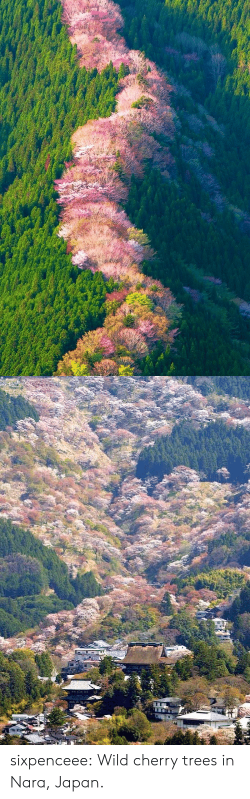 Tumblr, Blog, and Http: sixpenceee: Wild cherry trees in Nara, Japan.
