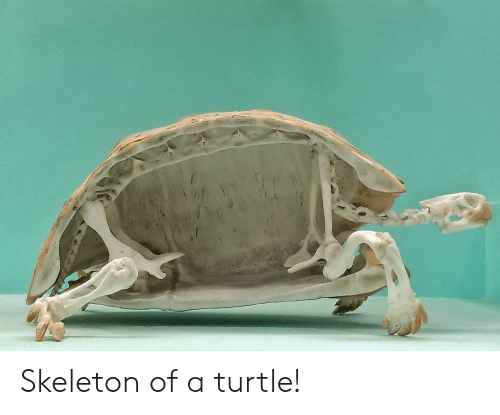 Turtle and Skeleton: Skeleton of a turtle!