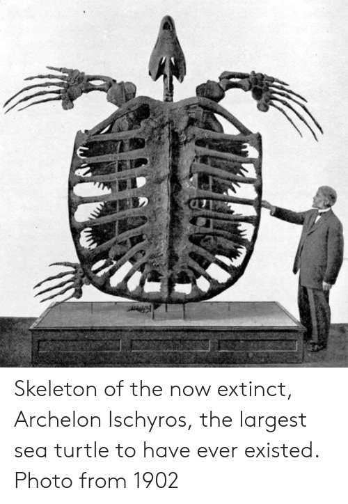 Turtle, Photo, and Sea Turtle: Skeleton of the now extinct, Archelon Ischyros, the largest sea turtle to have ever existed. Photo from 1902