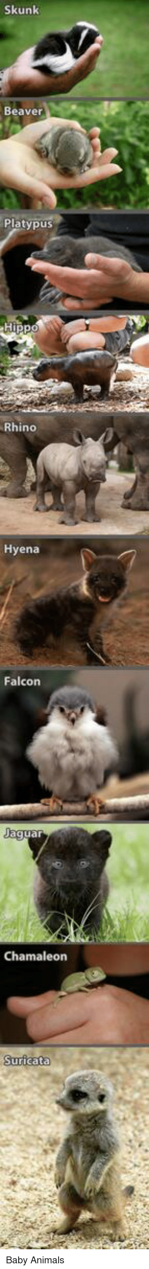 Memes, Baby Animals, and 🤖: Skunk  Beaver  Platypus  Rhino  Hyena  Falcons  Jagua  Chamaleon Baby Animals