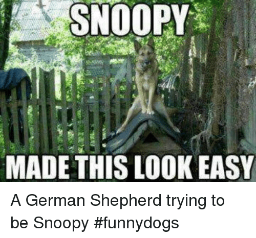 German Shepherd, Snoopy, and German: SNOOPY  MADE THIS LOOK EASY A German Shepherd trying to be Snoopy #funnydogs