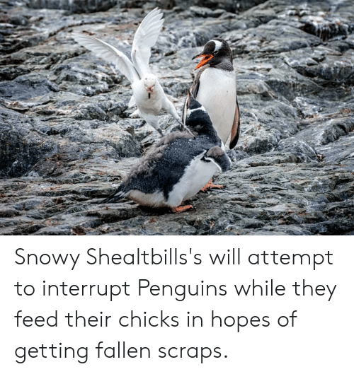 Penguins, Fallen, and Will: Snowy Shealtbills's will attempt to interrupt Penguins while they feed their chicks in hopes of getting fallen scraps.