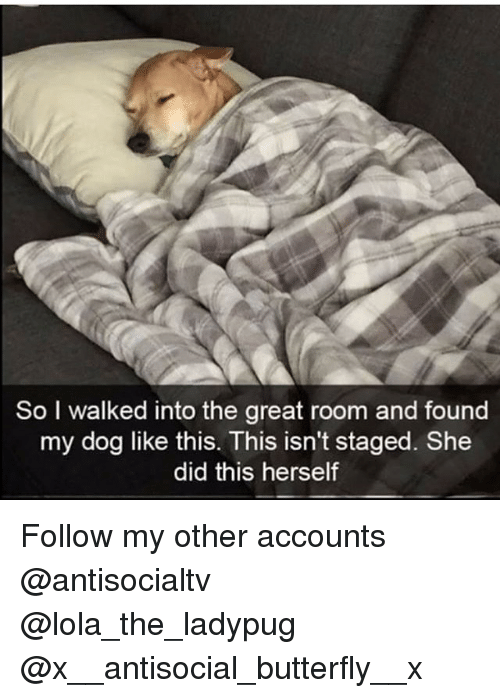 Memes, Butterfly, and Antisocial: So I walked into the great room and found  my dog like this. This isn't staged. She  did this herself Follow my other accounts @antisocialtv @lola_the_ladypug @x__antisocial_butterfly__x
