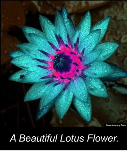 Some Amazing Facts A Beautiful Lotus Flower Meme On Meme