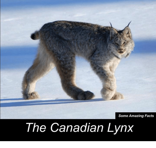 some amazing facts the canadian lynx 8903085 some amazing facts the canadian lynx meme on me me