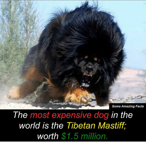 some amazing facts the most expensive dog in the world 8403712 ✅ 25 best memes about mastiff mastiff memes